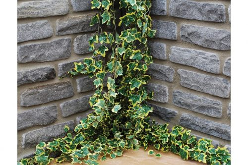 dark grey walling with ivy weaving across the wall